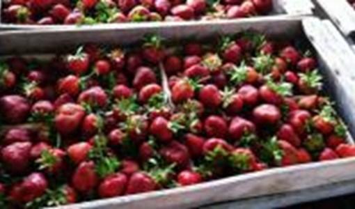 Holland Strawberry Festival | Destination Toledo