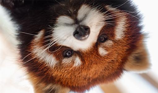 https://www.visittoledo.org/media/3626/red-panda-day.jpg